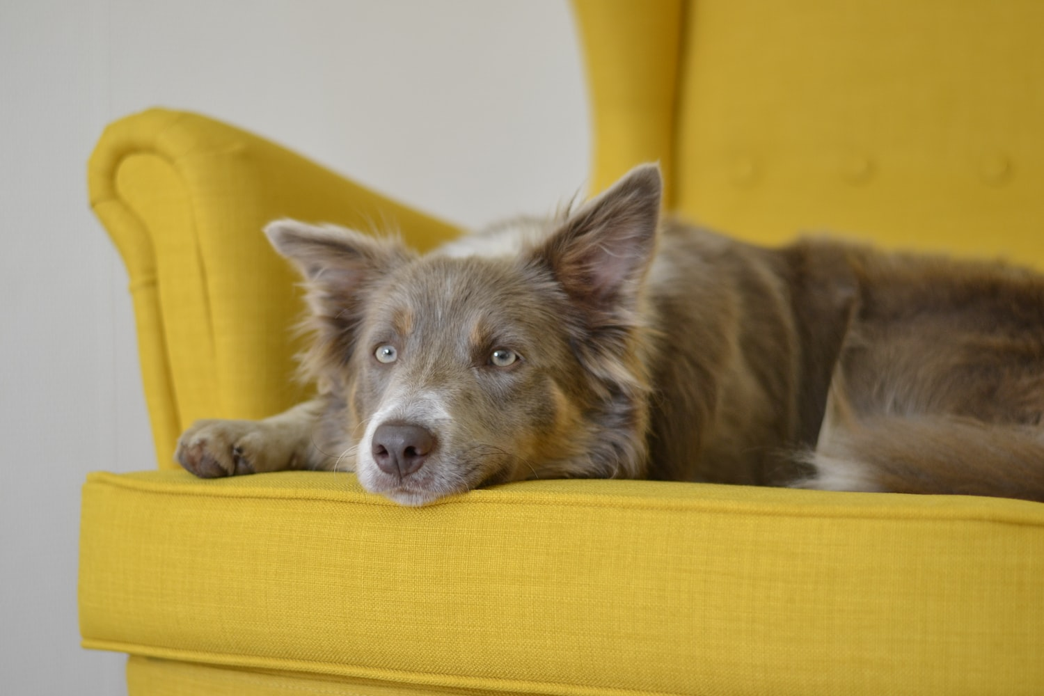 how to get dog urine smell out of couch after it has dried